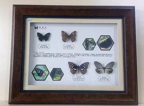 蝴蝶展资源 活体蝴蝶 蝴蝶标本